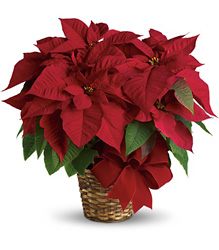Red Poinsettia from Gilmore's Flower Shop in East Providence, RI