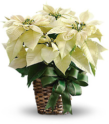 White Poinsettia from Gilmore's Flower Shop in East Providence, RI